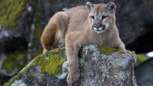 mountain-lion-on-rock_jpg_adapt_945_1